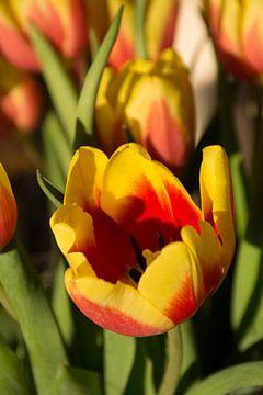 Tulpen von Mark Scholten