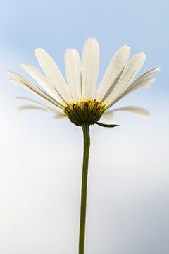 Himmlisches Gänseblümchen von Annika Westgeest Photography