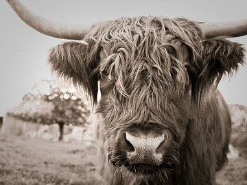 Schottisches Hochlandrind (Highland Cattle) von Jo Beerens