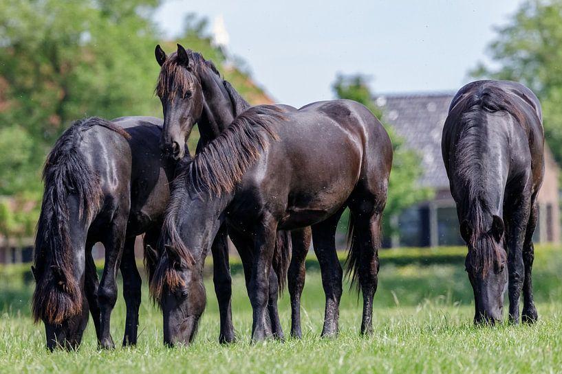 Friese paarden van Age Meijer