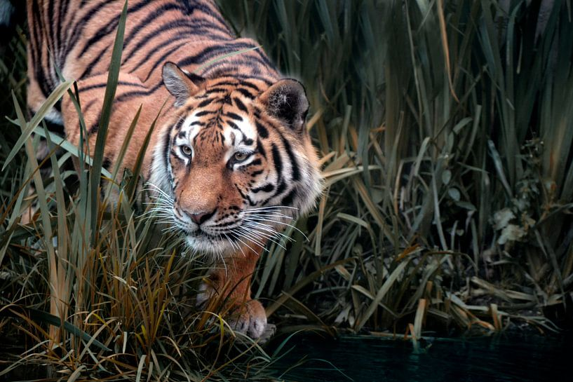 tiger on the hunt van Joachim G. Pinkawa