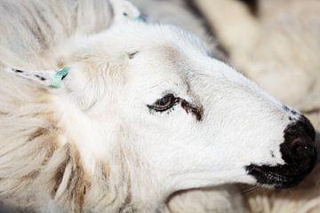 Portrait eines Schafes von Els Broers