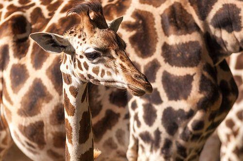 Baby giraffe met moeder van Victor van Dijk