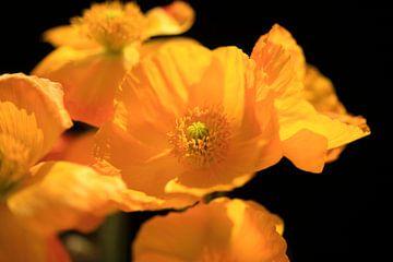 Mohnblumenblüten von Thomas Jäger