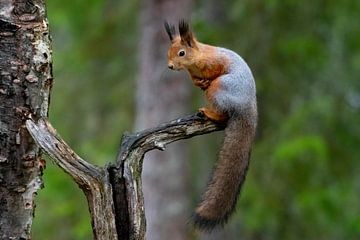 Wasch-Eichhörnchen von Merijn Loch