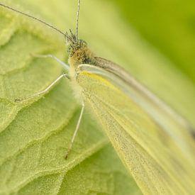 Papillon, ton sur ton sur Tanja van Beuningen