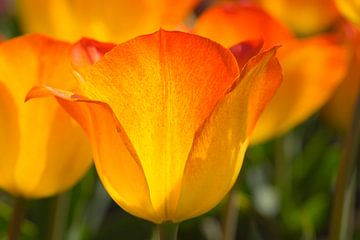 Tulpe (gelb-orange) von Monika Scheurer