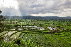 Verbazingwekkende rijstterrasvelden en enkele palmbomen rond, Ubud, Bali, Indonesië