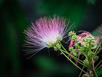 Wunderschöne rosa gefärbte Blume von Jayzon Photo
