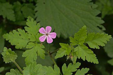 Robertskruid, wilde bloem van Kristof Lauwers