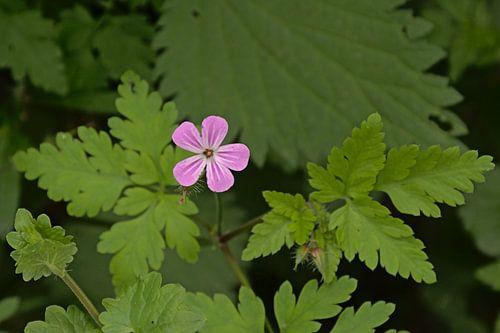 Robertskruid, wilde bloem