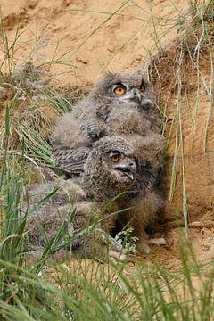 Eurasian Eagle Owls ( Bubo bubo ), young chicks van wunderbare Erde