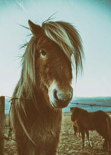 IJslandse paarden van Islandpferde  | IJslandse paarden