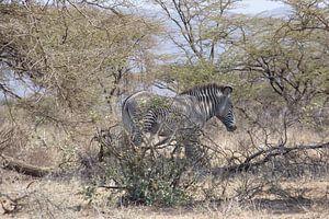 Grevy Zebra von Daisy Janssens
