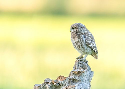 Little owl! van Robert Kok