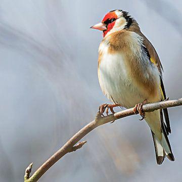 Goldfinch sieht nach links von Fotografie Jeronimo