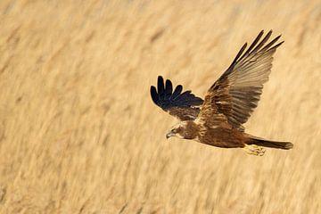 Western Marsh Harrier *Circus aeruginosus* van wunderbare Erde