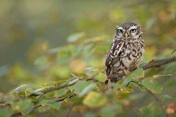 Little Owl * Athene noctua * van wunderbare Erde