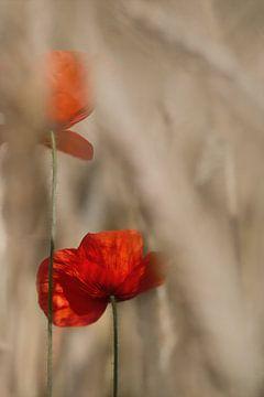 Mohnblumen von Ingrid Van Damme fotografie
