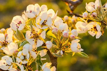 Blühen im Sonnenaufgang von Jeffrey Hol