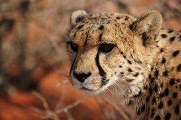 Cheetah (Acinonyx jubatus) van Dirk Rüter