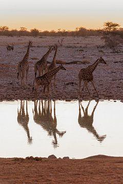Giraffen van Felix Brönnimann