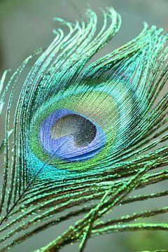 Grün-blaue Pfauenfeder. von Christa Stroo fotografie