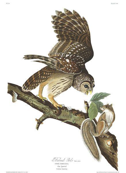 Gestreepte Bosuil van Birds of America