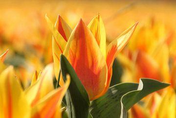 Tulp von Rick van Zelst