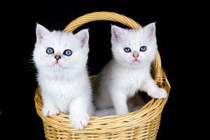 Twee witte kittens zitten in mand