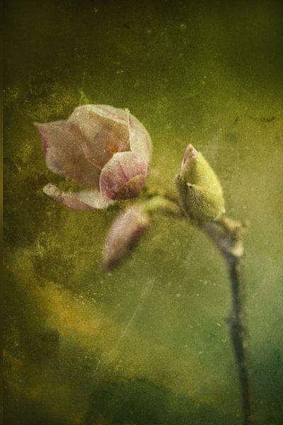 bloeiende magnolia van hanny bosveld