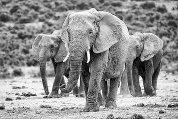 Olifanten en route van Henri Kok
