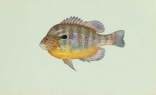 Lepomis megalotis (Longear sunfish) van