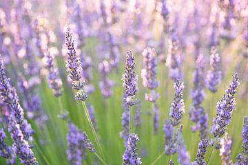 Lavendel von Elles Rijsdijk