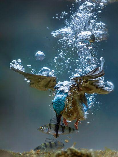Duikende ijsvogel (onder water)