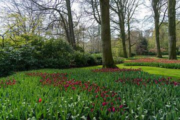 Tief lila Farbe Tulpen blühen von Digikhmer