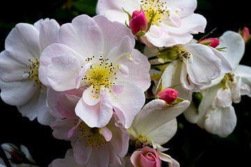 Eine Rose ist eine Rose ist eine Rose von Ingrid de Vos - Boom