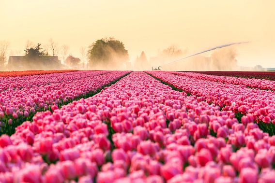 Pink Tulips van Dennis van de Water