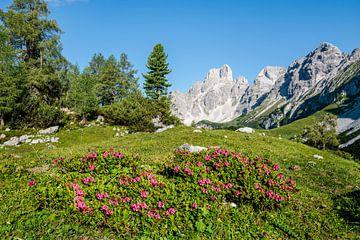 Alpenroosjes in de Bergen van Coen Weesjes
