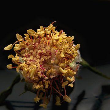 Makroaufnahme! Schönes Innere einer Wildrose. von Natasja De lannooy