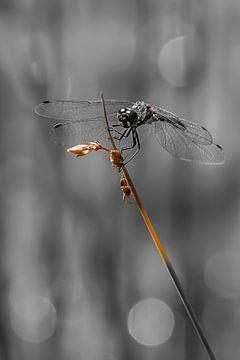 Macro Zwarte Libel van HvNunenfoto