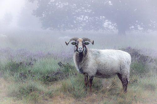 Drents heideschaap op een mistige ochtend