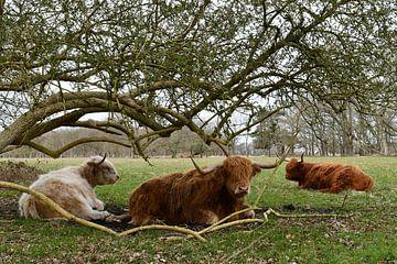 Schotse Hooglanders van Bernard van Zwol