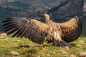 Vale Gier met gespreide vleugels, erg indrukwekkend
