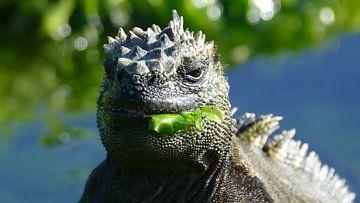 Marine iguana chewing a seaplant van Tim van Vilsteren