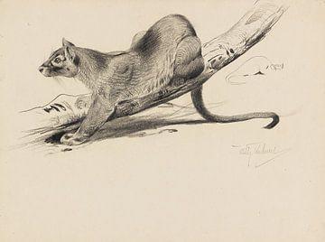 Fossa (Fretkat), WILHELM KUHNERT, 1910 van Atelier Liesjes