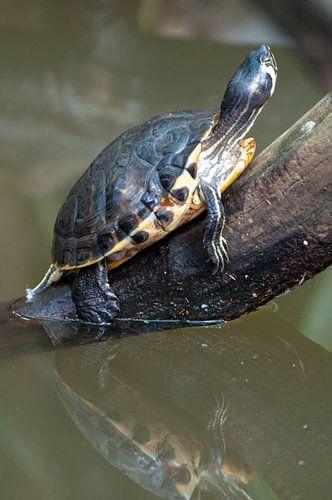 Schildpad met reflectie.