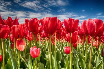 Tulpenfeld von Lia van Beest