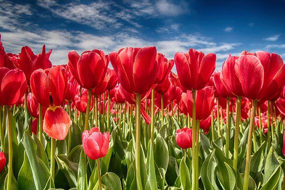 Tulpen-veld