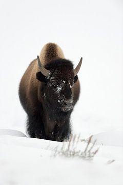 Bison ( Bison bison ), Bulle,  kommt im tiefen Schnee über einen Hügel, frontale Aufnahme, wildlife, von wunderbare Erde